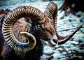 Mouflon In Winter (221325021).jpeg