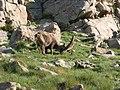 Mouflon derrière les tour d'allos.jpg
