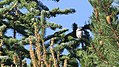 Mountain chickadee (36703665536).jpg
