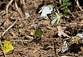 Mudpuddling Butterflies Chinnar WLS Kerala (77).jpg