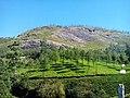 Munnar tea gardens, kerala - panoramio.jpg