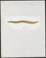 Muraena microspila - 1864 - Print - Iconographia Zoologica - Special Collections University of Amsterdam - UBA01 IZ15300057.tif