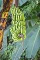 Musa x paradisiaca in Chiang Mai Province 04.jpg