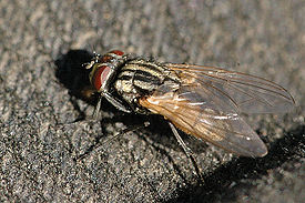 Musca.domestica.female.jpg