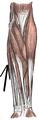 Musculusflexorcarpiulnaris.png
