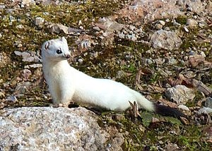 Ermine (heraldry) - A stoat in winter fur.