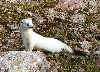Ermine (heraldry) - A stoat in winter fur.