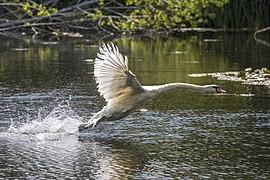 Mute swan (Cygnus olor) taking off.jpg