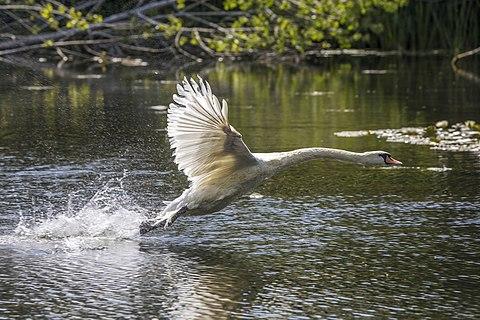 Mute swan (Cygnus olor) taking off
