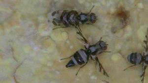 File:Myennis octopunctata - 2019-08-30.webm