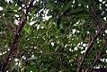 Myrsine pellucido-punctata 2zz.jpg