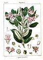 Myrtus tomentosa Rungiah.jpg