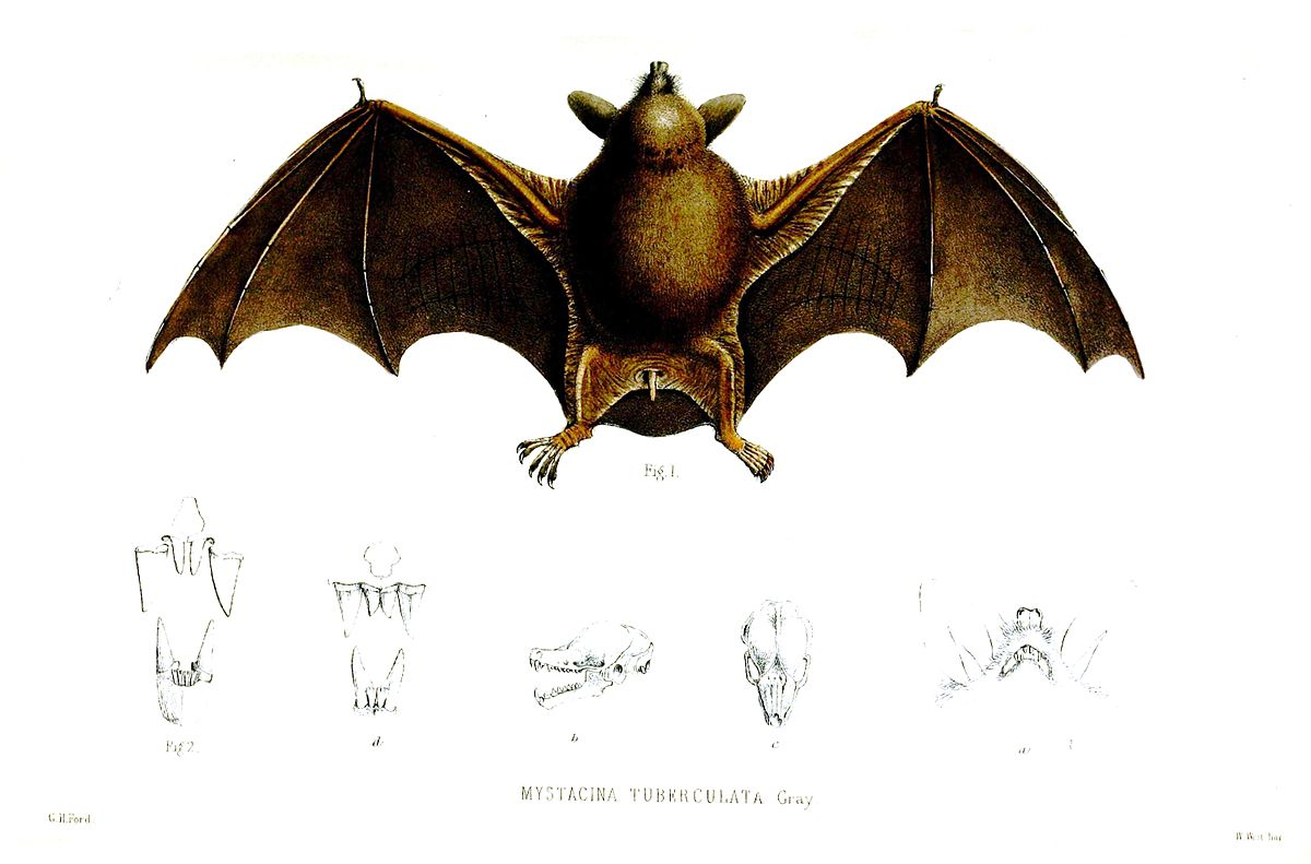 new zealand lesser short tailed bat wikipedia