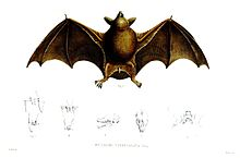 小短尾蝠(英语:New Zealand lesser short-tailed bat) (Mystacina tuberculata)