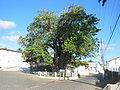 Nísia-Floresta-baobá-2.jpg