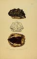N82 Sowerby & Lear 1872 (psammobates tentorius).jpg