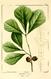 NAS-019f Quercus nigra.png