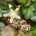 Nanocnide japonica (flower s3).jpg