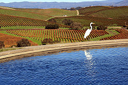 Napa Valley and Great Egret.jpg