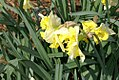 Narcissus Egard 0zz.jpg