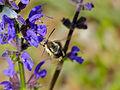 Narrow-bordered Bee Hawkmoth (Hemaris tityus) on Meadow Sage (Salvia pratensis) (14162520844).jpg