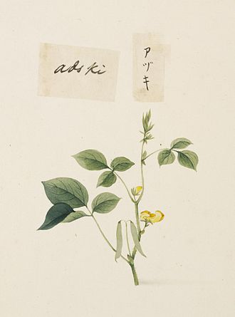 Adzuki bean - Illustration