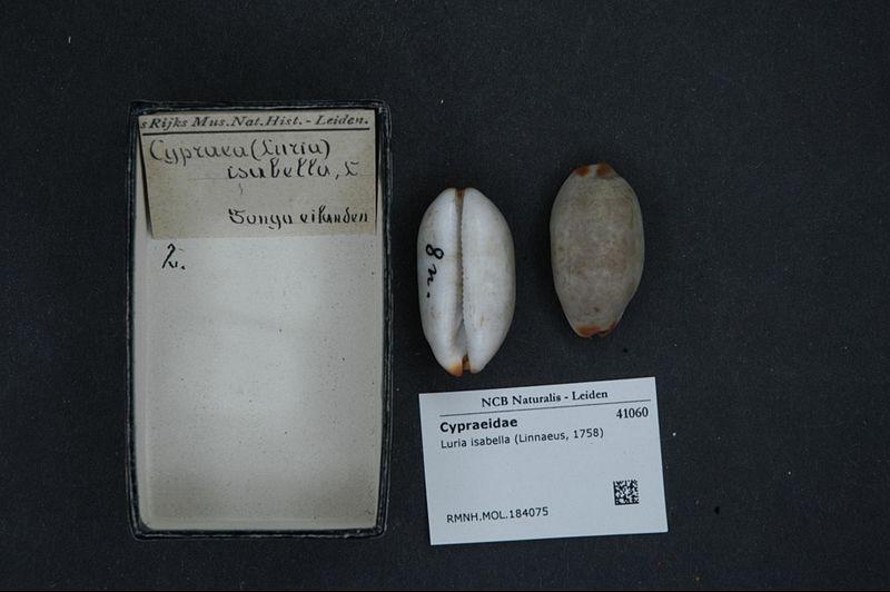 File:Naturalis Biodiversity Center - RMNH.MOL.184075 - Luria isabella (Linnaeus, 1758) - Cypraeidae - Mollusc shell.jpeg