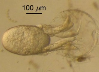 Krill - A nauplius of Euphausia pacifica hatching, emerging backwards from the egg
