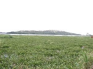 Lake Victoria - A hyacinth-choked lakeshore at Ndere Island, Lake Victoria, Kenya.