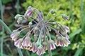 Nectaroscordum siculum bulgaricum 3zz.jpg
