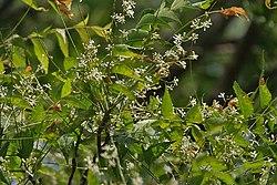 Neem (Azadirachta indica) leaves & flowers in Kolkata W IMG 6199.jpg