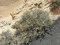 Negev Unknown Plant, Large Makhtesh Crater, Negev Desert, Israel (469185675).jpg
