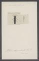 Nematodes - Print - Iconographia Zoologica - Special Collections University of Amsterdam - UBAINV0274 023 14 0014.tif