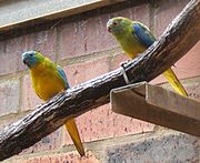 A blue parrot with a yellow underside and a green nape. The females have a green head and the males have a blue head