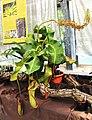 Nepenthes truncata Exhibition of Carnivorous Plants Prague 2016 1.jpg