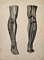 Nerves and muscles of the legs; two figures. Lithograph by N Wellcome V0008444.jpg
