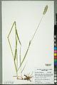 Neuchâtel Herbarium - Alopecurus pratensis - NEU000100159.jpg