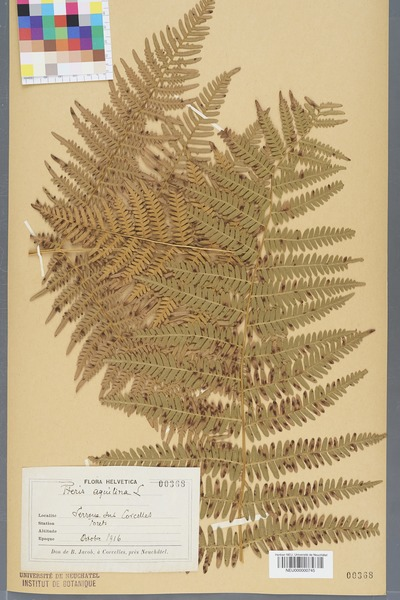 File:Neuchâtel Herbarium - Pteridium aquilinum - NEU000000745.tiff