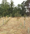 New trees in Thame Park - geograph.org.uk - 39179.jpg