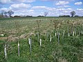 Newly planted hedge near Vicarage Barn - geograph.org.uk - 742270.jpg