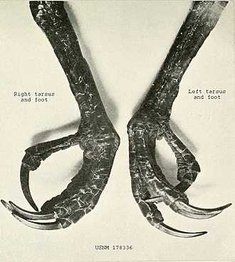 Nicobar megapode - Legs and feet of a museum specimen