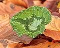 Nieuw blad van Cyclamen hederifolium tussen herfstbladeren. 13-11-2020 (d.j.b.) 01.jpg