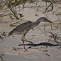 Night Heron (Yellow Crowned Juvenile?) (5270340151).jpg