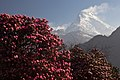 Nilgiri and rhododendrons.jpg