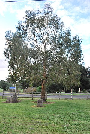 Alan Marshall (Australian author) - A tree dedicated to the memory of Marshall in his childhood home town of Noorat.