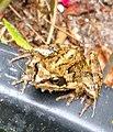Noordwijk - Bruine kikker (Rana temporaria) op de rand van een vijver.jpg