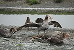 Northern Giant Petrel savouring lunch (5724582547).jpg