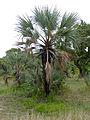 Northern Lala Palms (Hyphaene petersiana) (11550080623).jpg
