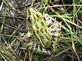 Northern Leopard Frog, Rana pipiens - Flickr - GregTheBusker.jpg