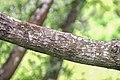 Nothofagus solandri in Wellington Botanical Garden (4).jpg